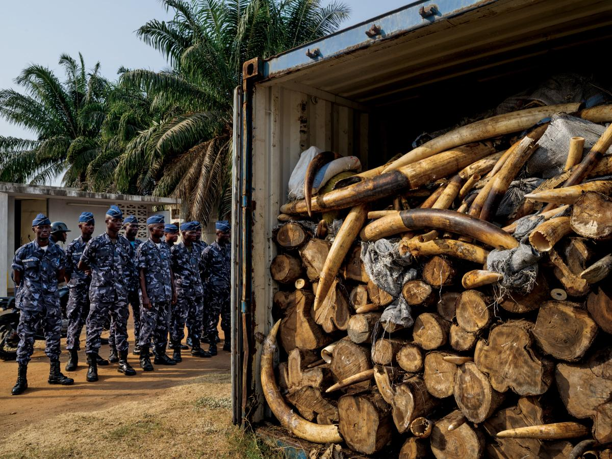 In January 2014, while X-raying a Vietnam-bound container declared to hold cashews, Togolese port authorities saw something unexpected: ivory. Eventually, more than 4 tons were found, Africa's largest seizure since the global ivory trade ban took effect i