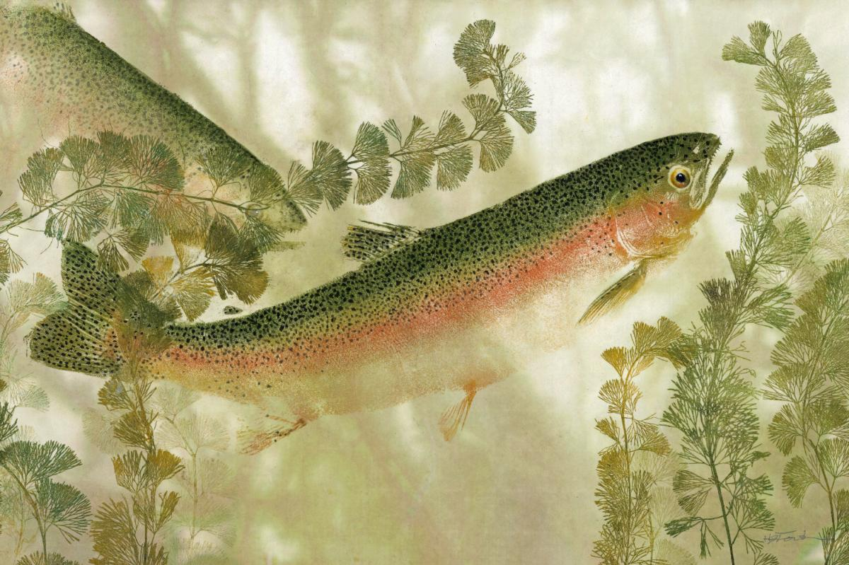 River Dreams Rainbow Trout.