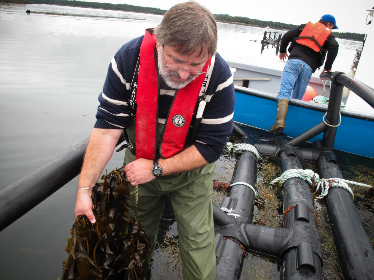 Thierry Chopin examines two type of seaweed being grown around Cooke Aquaculture's salmon farm. The company sells the seaweed as a specialty food and to a cosmetic company, which extracts natural compounds from it. Chopin is also experimenting with seawee
