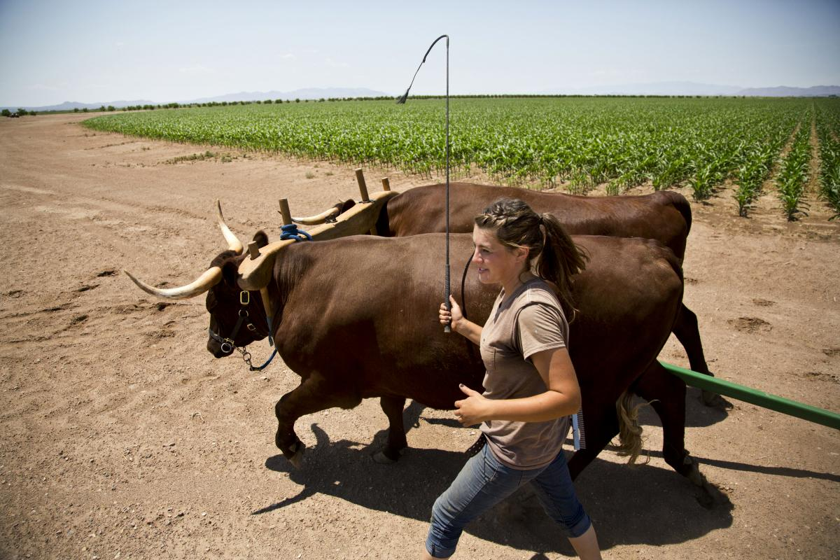 Anderkin walks Ike and Earl, two brown oxen who are part of Buffett's plan to figure out how to better fight hunger.