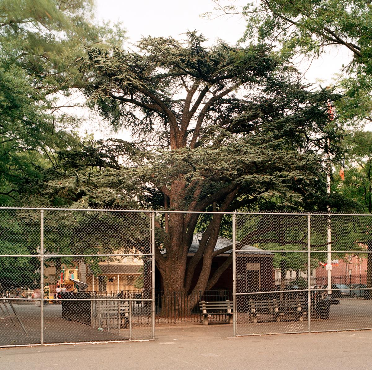Cedar of Lebanon in Weeping Beech Park, Flushing, Queens, taken on July 28, 2010. The multiple trunks had a combined diameter of 100.5 inches. The height was approximately 30 feet. The tree is about 120 years old.