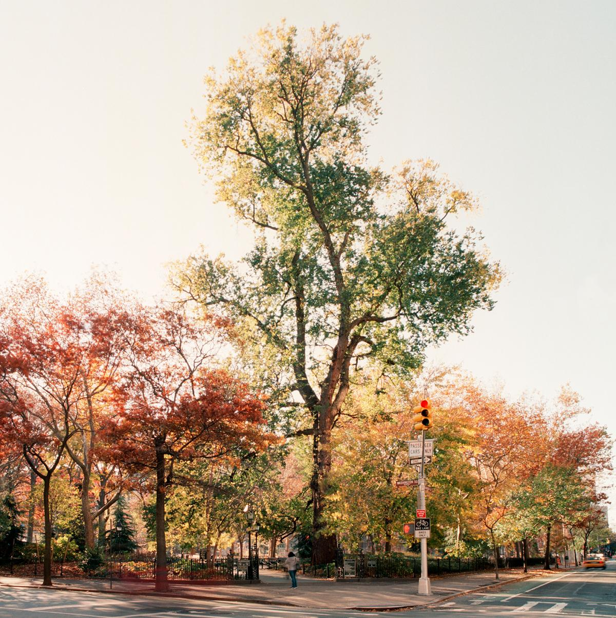 English elm in Washington Square Park, Manhattan, taken on Nov. 18, 2011. The tree had a diameter of 65 inches and an estimated height of 110 feet. The tree was about 220 years old.