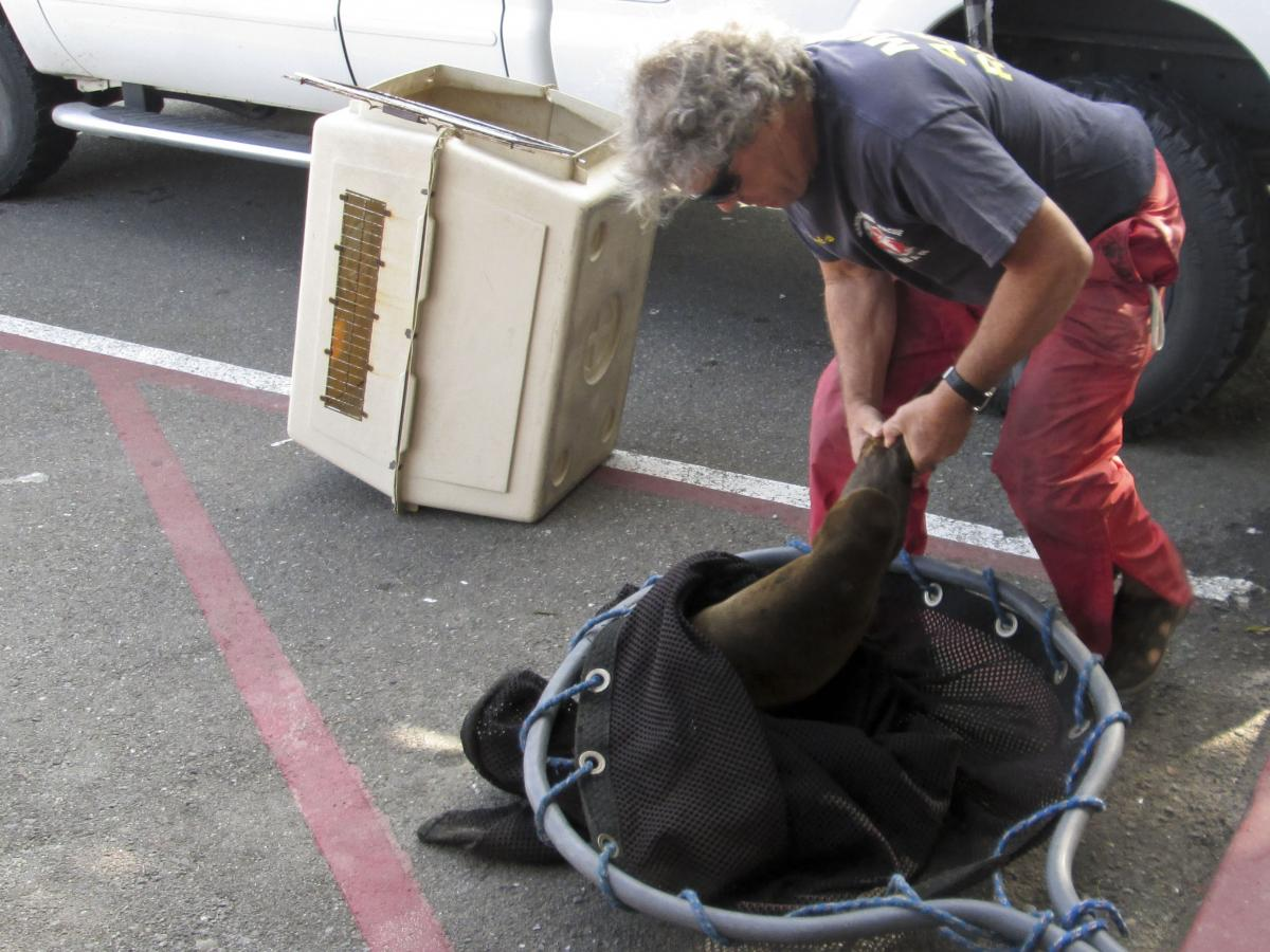 Peter Wallerstein uses a large fishing net to grab a sea lion pup that was stranded on a nearby dock.