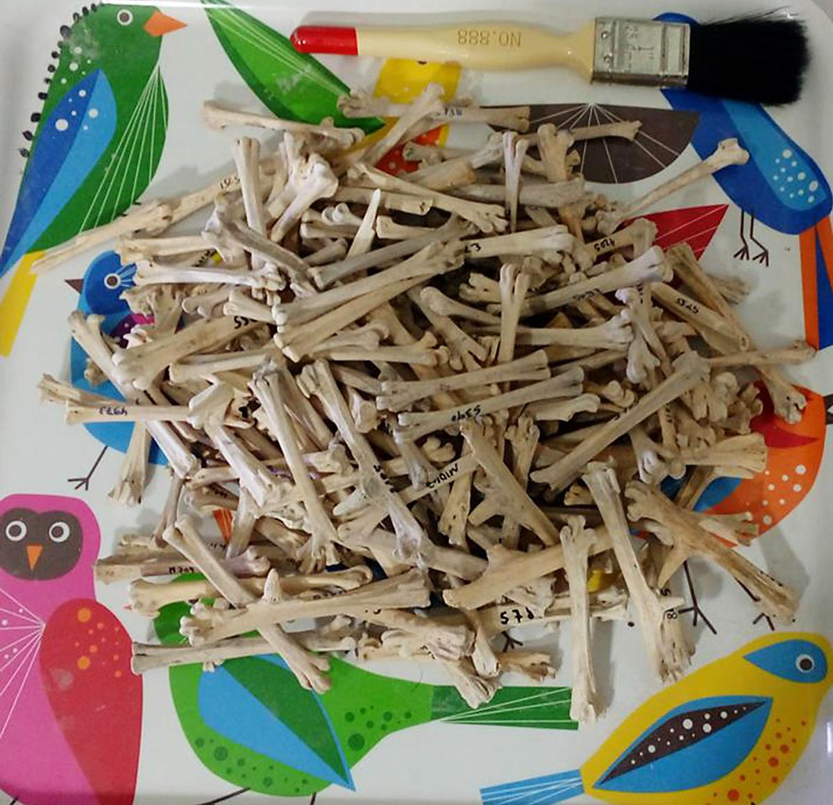 Tarsometatarsus chicken bones are ready to be analyzed at the zooarchaeology lab, Zinman Institute of Archaeology, University of Haifa.