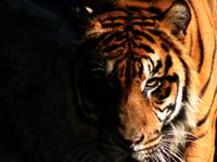 tiger promo image