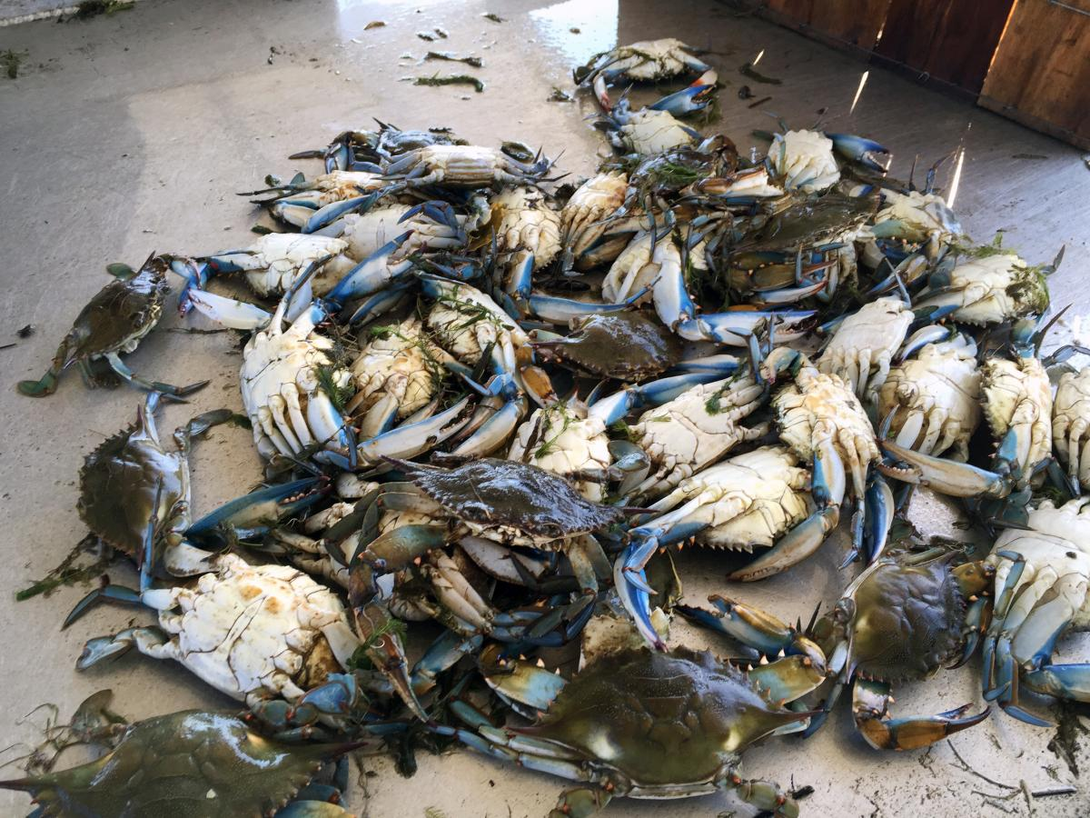 "Blue crabs brought back to Tony Goutierrez's dock in Hopedale, La. For the past few years, his traps have been coming up empty. ""It's sad to see it go, but it's going — this way of life is going to disappear,"" he says."