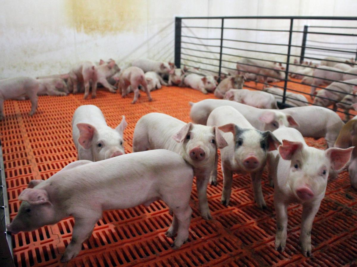 These pigs, newly weaned from their mothers, are at their most vulnerable stage of life. They're getting antibiotics in their water to ward off bacterial infection.