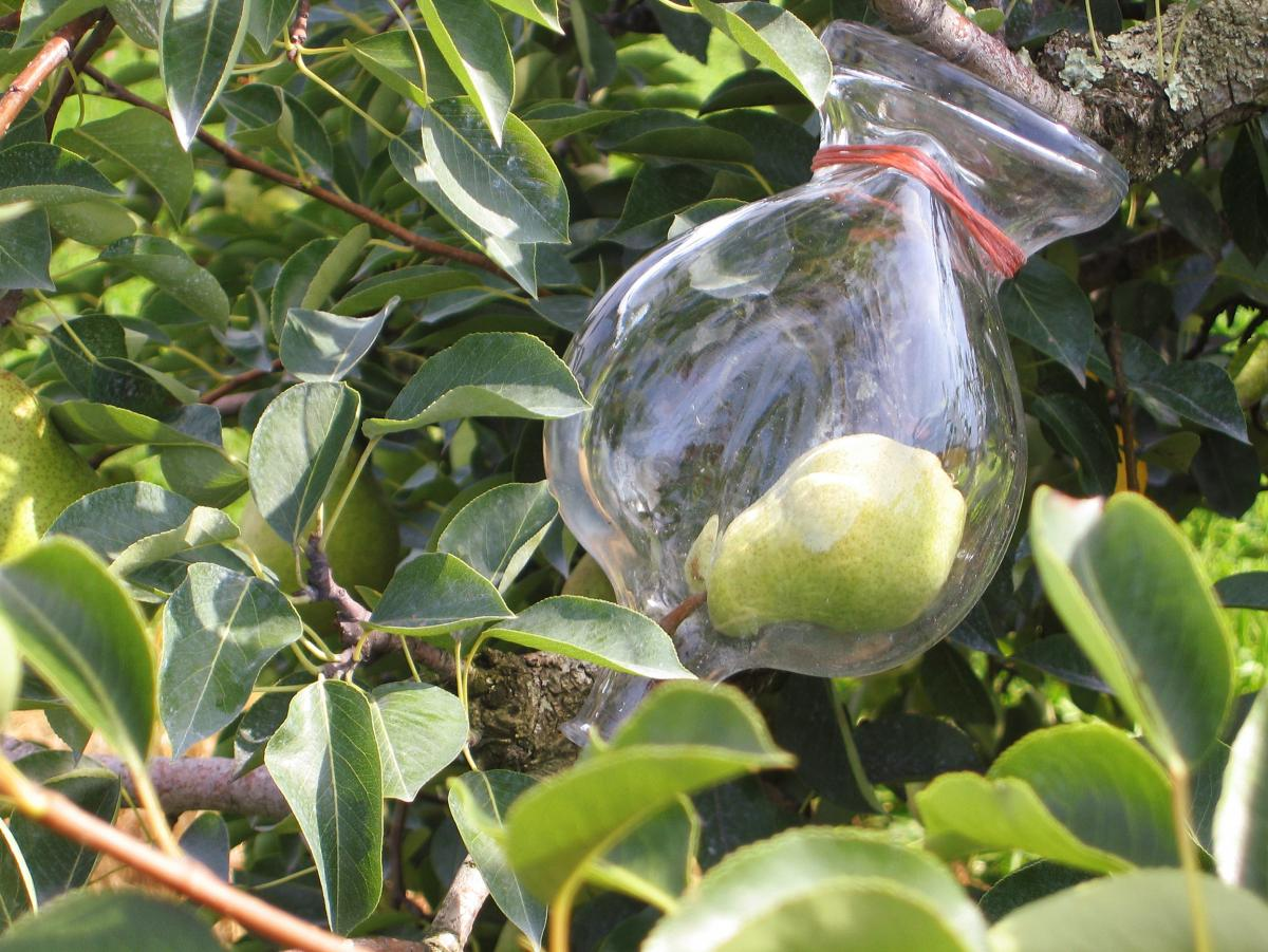 A pear in a bottle at Westford Hill Distillery's orchard in Ashford, Conn.