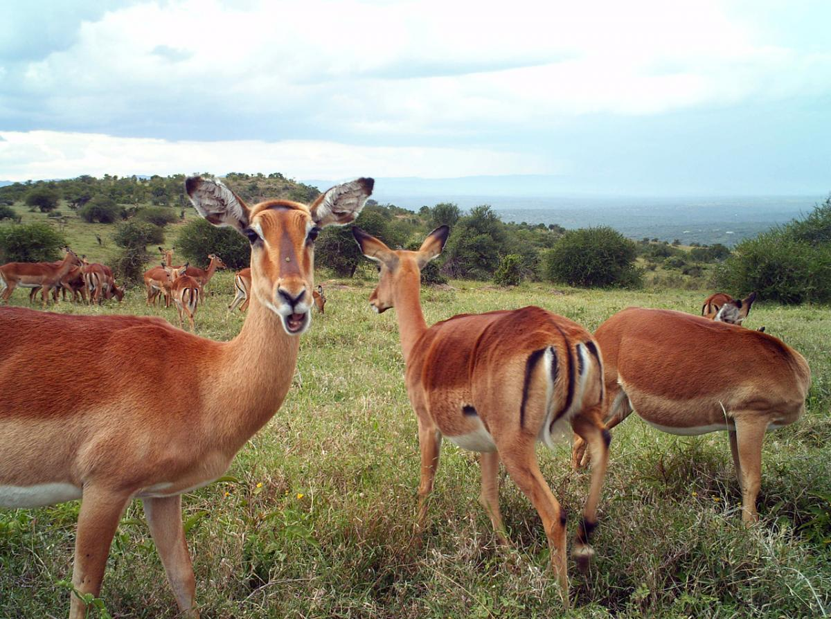 Scientists used a relatively new technique called DNA metabarcoding to analyze the diets of impala and other herbivores in southern Kenya.