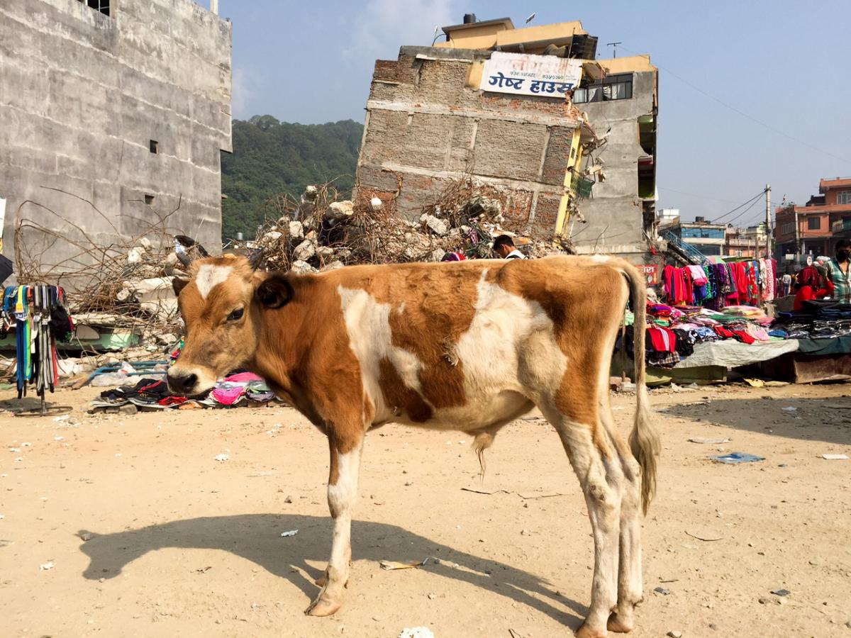 Taking advantage of the post-earthquake chaos, farmers in the Kathmandu region are abandoning unwanted cattle in record numbers.