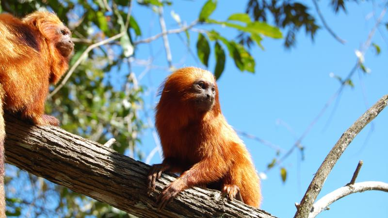 The wild population of the golden lion tamarin, which lives only in Brazil's Atlantic Forest, fell to just 200 in the 1970s. Conservationists have helped the species rebound, but the monkeys are still at risk as development encroaches on their remaining h