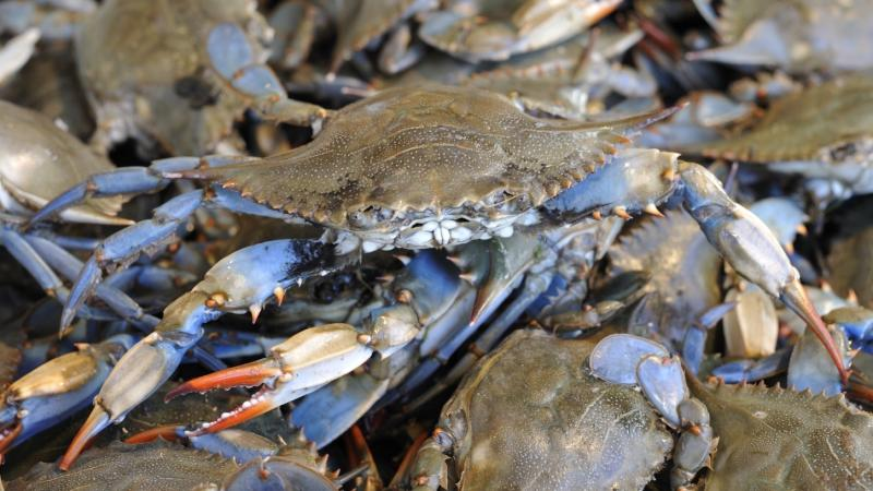 Hard crabs, like these blue crabs, are used in Bill Smith's Crab Stew recipe.