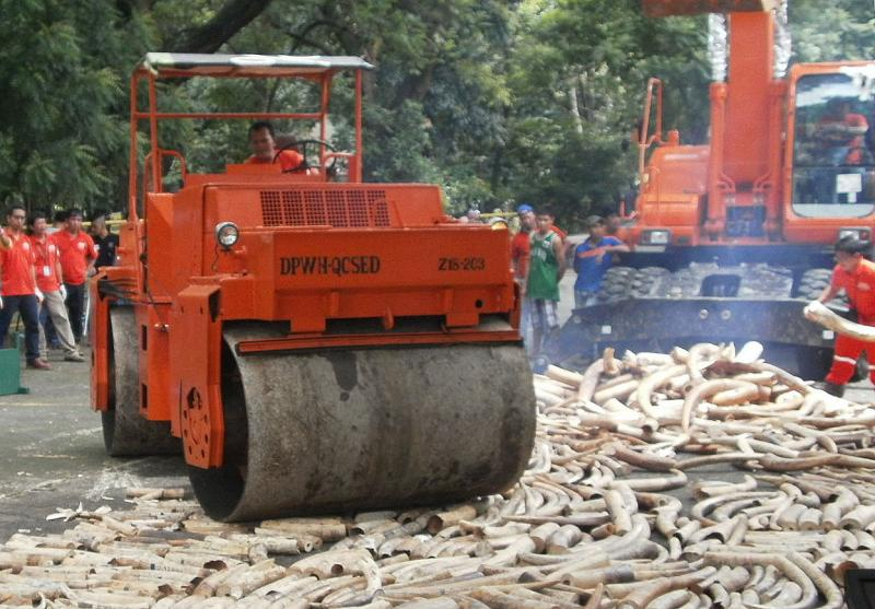 A steamroller tries to flatten tusks, without much luck.