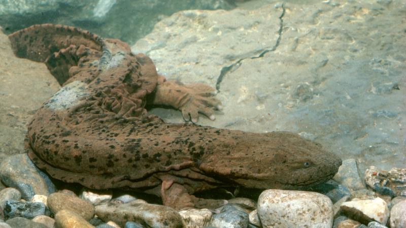 """Biologists normally look for the hellbender slamander, which is known by the nickname """"snot otter,"""" under rocks in streams. But now there's a gentler way: They can take water samples and look for traces of the animals' DNA."""