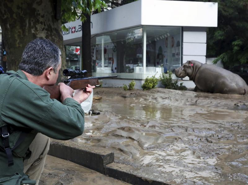 A man shoots a tranquilizer dart to put a hippopotamus to sleep at a flooded street in Tbilisi, Georgia, on Sunday. At least eight people died and several are missing as a result of heavy rainfall and floods overnight in the Georgian capital.