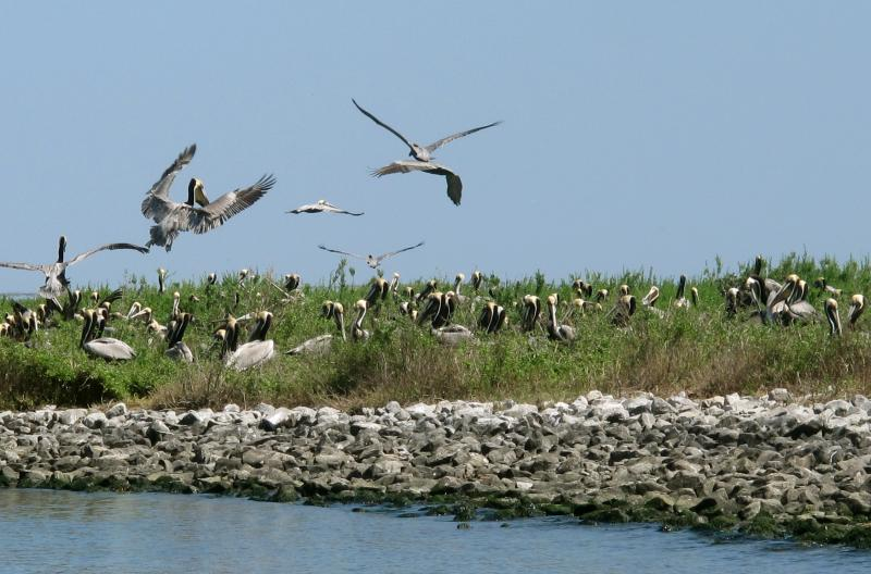 Pelicans are nesting at Queen Bess Island in Barataria Bay. Five years ago, the nesting season here was marred by the oil gushing out of the Deepwater Horizon disaster.
