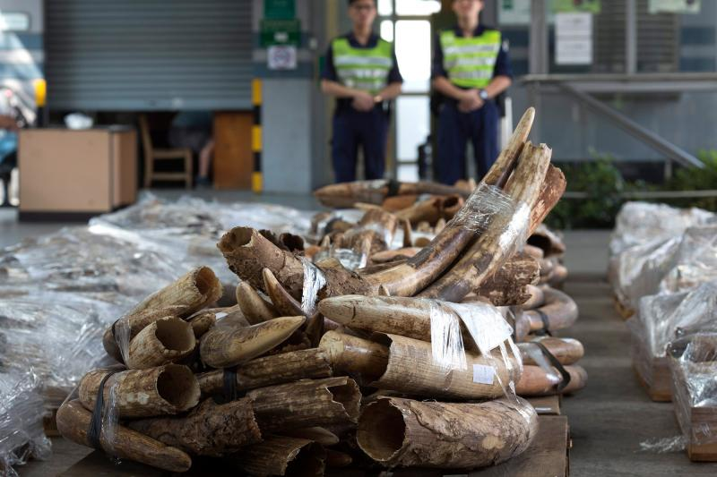 Customs officers in Hong Kong stand guard near several tons of ivory tusks seized during an anti-smuggling operation in 2012. The tusks and other ivory items had been shipped inside two containers from Tanzania and Kenya.