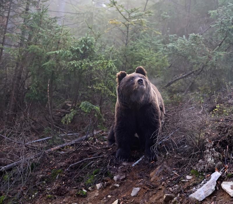 A brown bear in its natural habitat. Wildlife ecologists in Minnesota found that black bears in their study experienced an increase in heart rate when buzzed by drones.