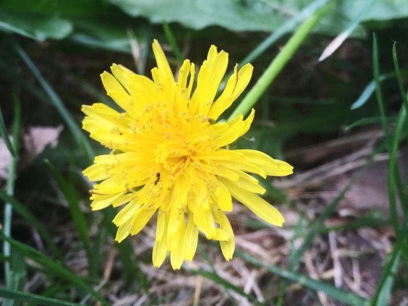 "Dandelion (Taraxacum officinale) flower found on the sidewalk in Meridian Hill Park, Washington, D.C. It's edible, but isn't on ""Wildman"" Steve Brill's list of seven."