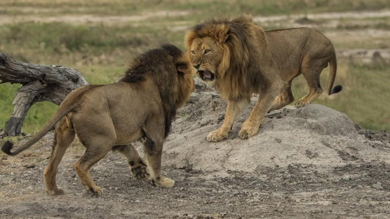 Jericho the lion, right, seen here fighting with Cecil last year, was the subject of competing stories Saturday, as groups in Zimbabwe disagreed over whether he had been killed.