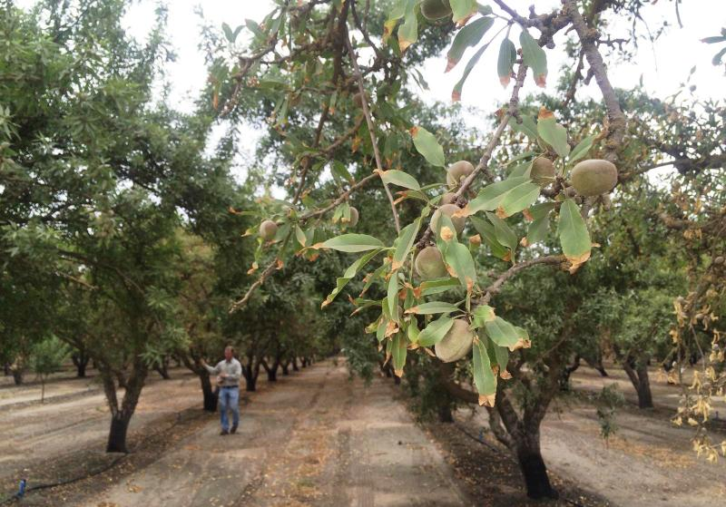 Almond orchards across California are dealing with trees showing signs of stress from the drought, such as smaller nuts and salt-burned leaves.
