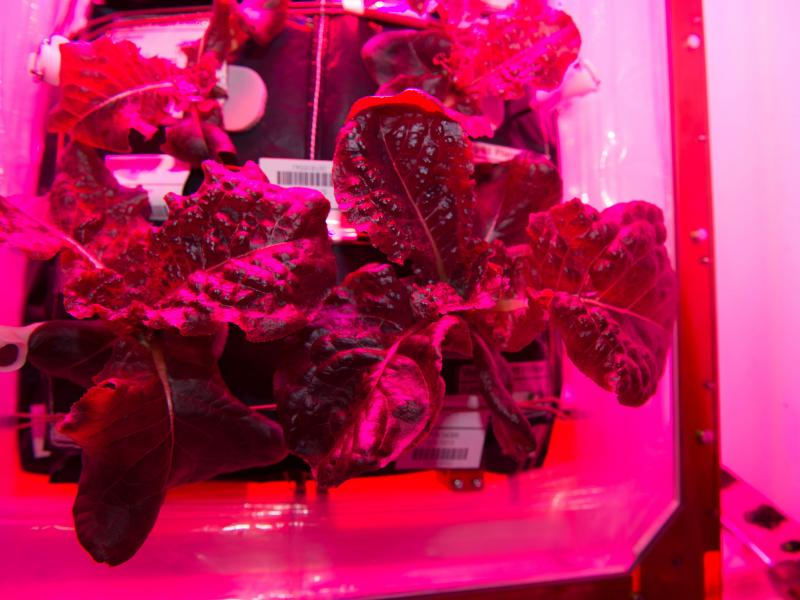It took astronauts 33 days to grow enough red romaine lettuce to make a small salad.