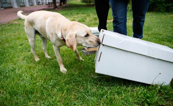 "Cybil Preston, chief apiary inspector for the Maryland Department of Agriculture, does a training run with Mack: She sets up fake beehives and commands him to ""find."" He sniffs each of them to check for American foulbrood. If he detects the disease, he is"
