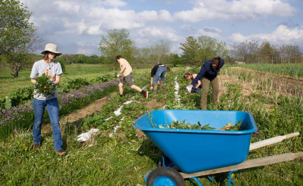 A weekday work session on the Student Organic Farm at Iowa State University has members weeding a perennial bed.