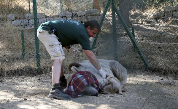 A caretaker examines a bear to be sure it is fully sedated before being moved from a center near Amman, Jordan, to the  al-Ma'wa wildlife reserve in northern Jordan on Oct. 2. The bear was among 25 animals released into the reserve run by the Princess Ali
