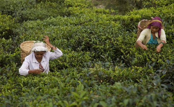 Workers harvest autumn flush teas on a tea estate in Darjeeling, India. Autumn is the personal favorite flush of many of India's most discerning tea tasters, though these teas remain largely unknown and nearly impossible to find.