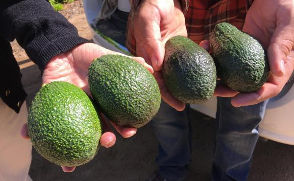 The avocados on the right are Hass, America's favorite variety of the green fruit. At left are GEM avocados, the great-granddaughter of the Hass. GEM avocados grow well in California's Central Valley and, in taste tests, they scored better than the Hass i
