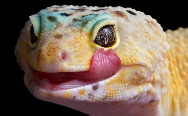 Reptiles like leopard geckos can bring Salmonella along with them.