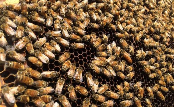 Dry conditions in California have limited the amount of pollen and nectar bees can collect.