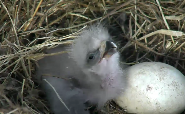 A still image from the American Eagle Foundation shows the eaglet from egg #1, and egg #2 — with the pip, or developing hole in the shell — just beginning to be visible on Saturday.