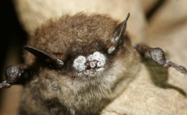 This October 2008 photo, provided by the New York Department of Environmental Conservation, shows a brown bat with white nose fungus in New York.