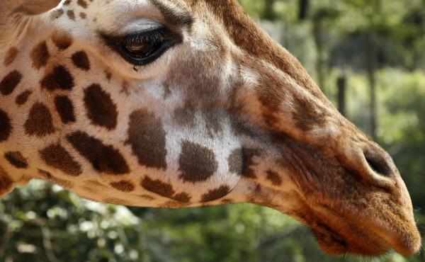 A giraffe in Kenya.