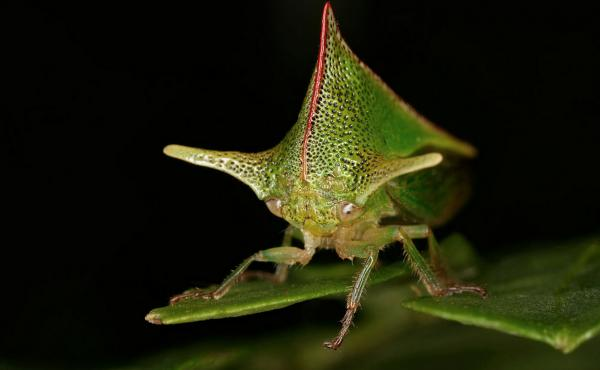 Male treehoppers make their abdomens thrum like tuning forks to transmit very particular vibrating signals that travel down their legs and along leaf stems to other bugs — male and female.
