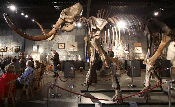 A woolly mammoth skeleton gets auctioned off in Billingshurst, England.