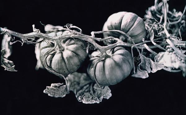A daguerreotype of Jack-Be-Little Squash, an heirloom variety from plant conservationist Amy Goldman's farm in New York's Hudson Valley.