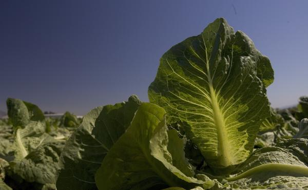 Lettuce grows in a field in Gonzales, Calif. The Food and Drug Administration has released new food safety rules that cover farmers who grow fresh produce, as well as food importers.