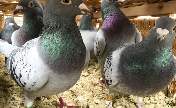 After the pigeons are fitted with pollution sensors, they are released into different parts of London. Londoners can then get live air quality readings via Twitter.