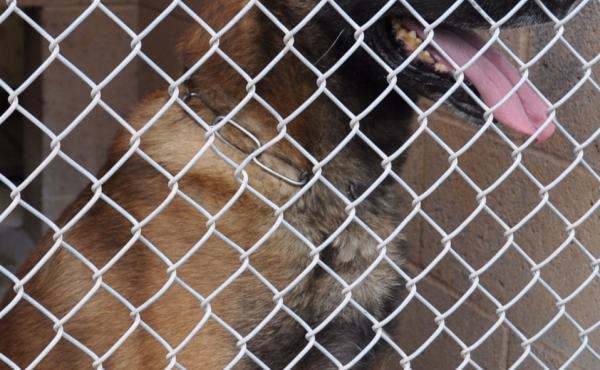 Rex, a retired K-9 dog, is in the custody of Animal Services as officials in Albuquerque, N.M., decide what to do with him.