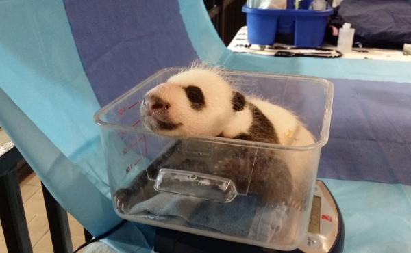 Keepers had an opportunity to weigh the 4.5 week-old giant panda cub on Sept. 21.