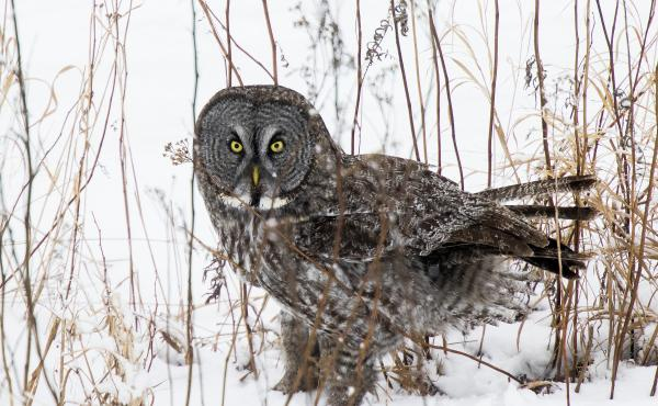 A great gray looks up after plunging into the snow, while hunting north of Two Harbors, Minn. The great gray is one of the world's largest species of owl.