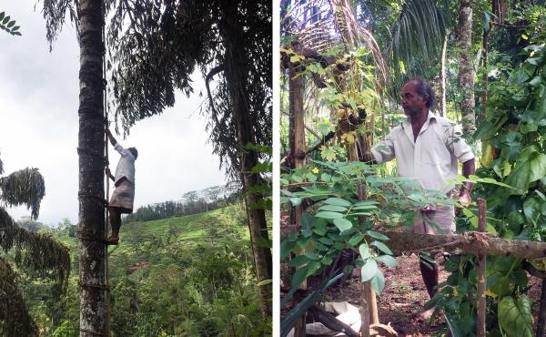 Left: Amuvita Gamage Dayasena, 58, climbs up a kithul palm tree that he is about to tap. Tapping fishtail palm to make palm syrup is only a small part of his livelihood. He also grows tea and vegetables on his farm, seen at right.