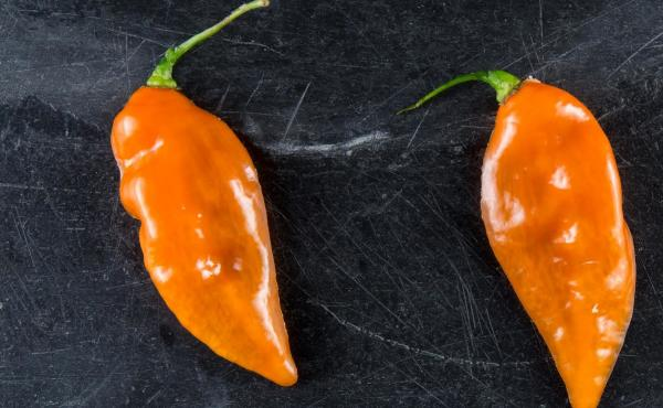 """New York City's Blue Hill restaurant is the biggest buyer of """"Habanadas,"""" a habanero bred to be heatless, so the focus is on its melon-like flavor."""