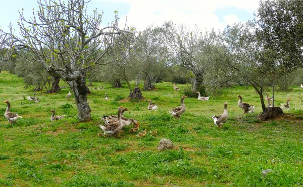 The farm's green rolling hills are covered with olive, oak, fruit and nut trees, which provide ample food for migrating geese.