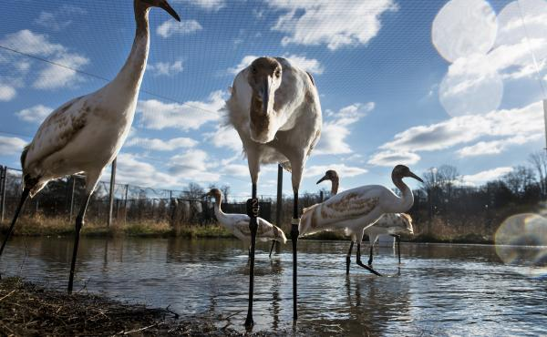 Biologists hoping to bring endangered whooping cranes back from the brink started an experimental flock in 1967 at the U.S. Geological Survey's Patuxent Wildlife Research Center in Laurel, Md.