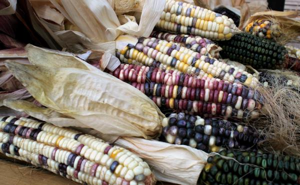 Some of the indigenous corn varieties growing in Taylor Keen's backyard. Cherokee White is a kind of sweet corn with white, purple, and yellower kernels that is ground for flour. Green Oaxacan is processed to make hominy and corn meal.