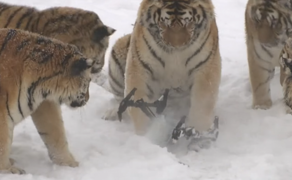 The Siberian tigers grimly contemplate their kill: the flying drone operated by their keepers.